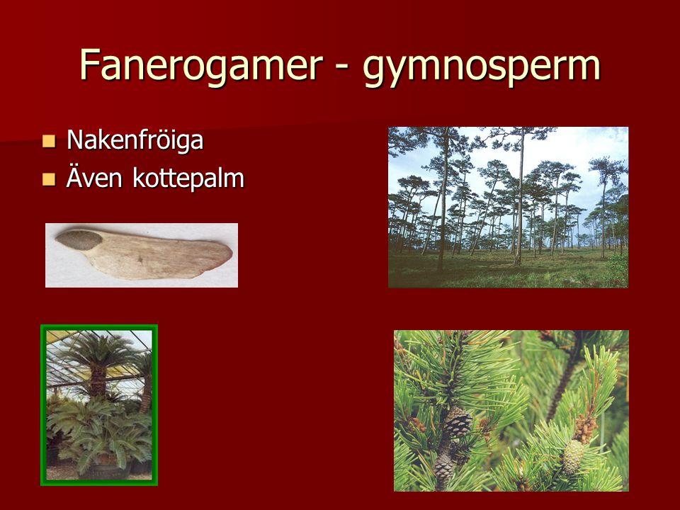 Fanerogamer - gymnosperm  Nakenfröiga  Även kottepalm