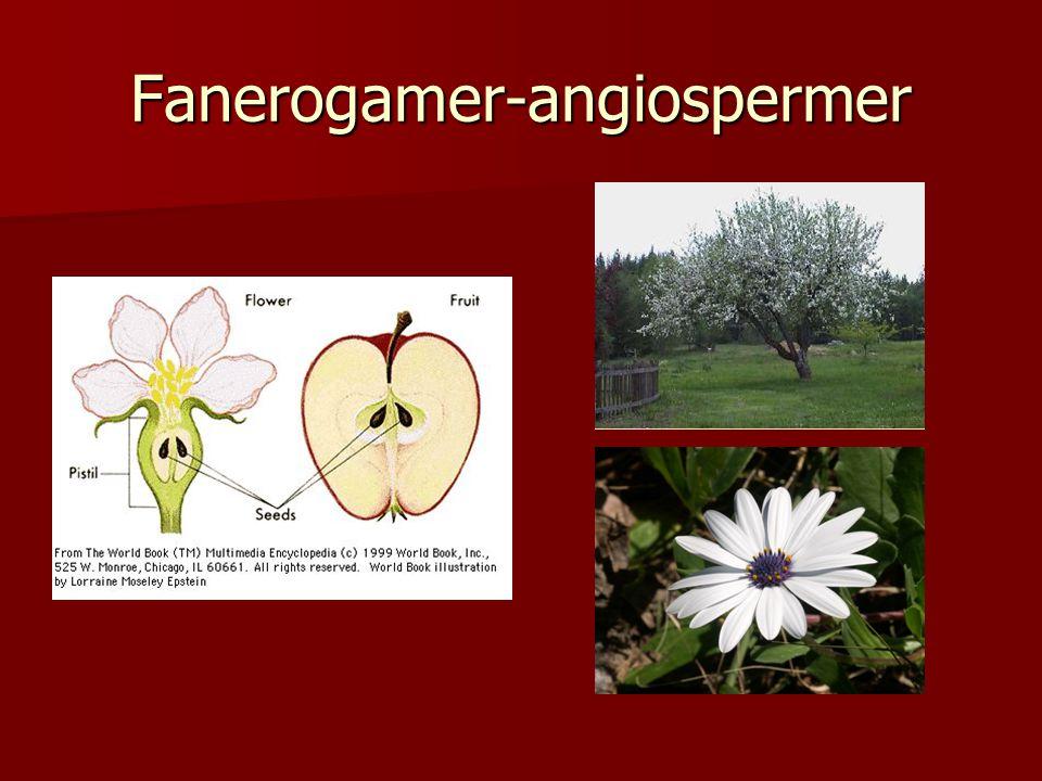 Fanerogamer-angiospermer