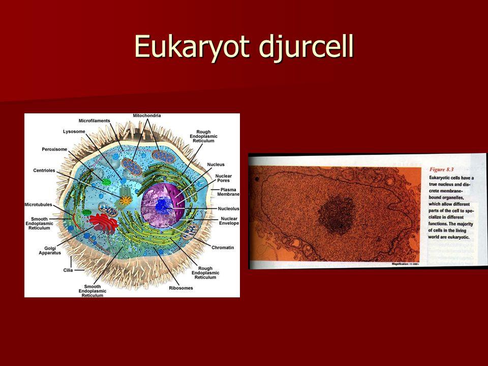 Eukaryot djurcell