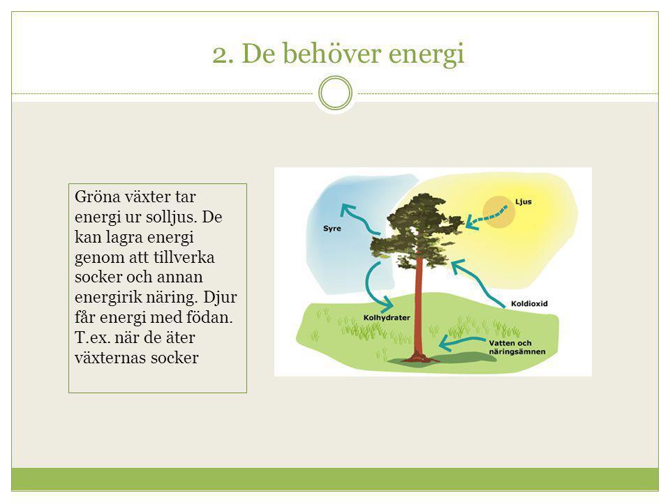 2. De behöver energi Gröna växter tar energi ur solljus. De kan lagra energi genom att tillverka socker och annan energirik näring. Djur får energi me