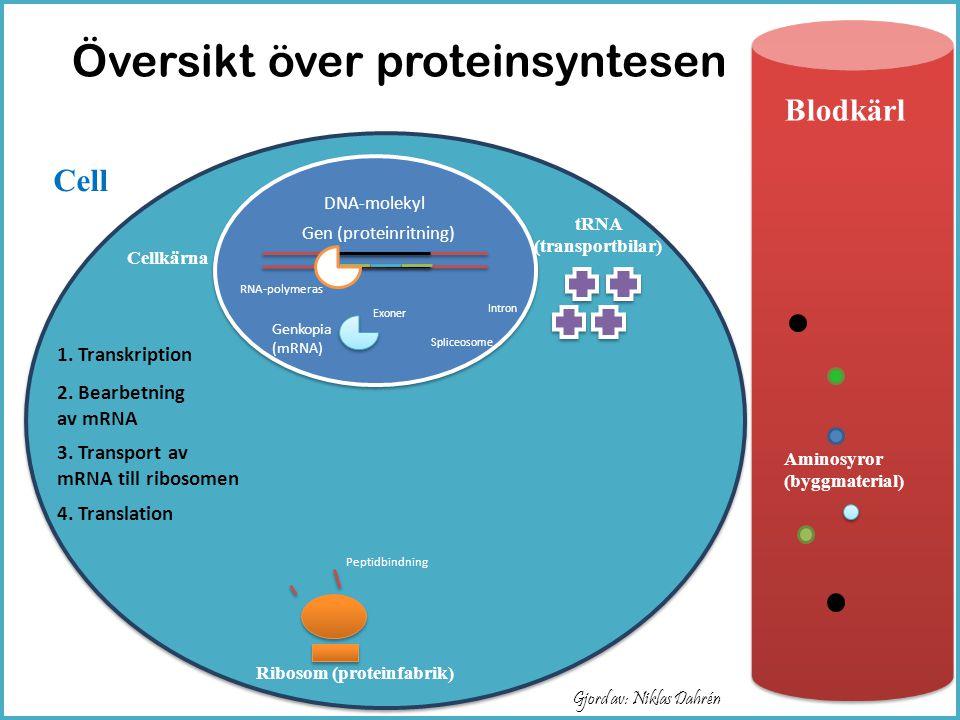 Översikt över proteinsyntesen Ribosom (proteinfabrik) Aminosyror (byggmaterial) Cellkärna tRNA (transportbilar) DNA-molekyl Gen (proteinritning) Cell