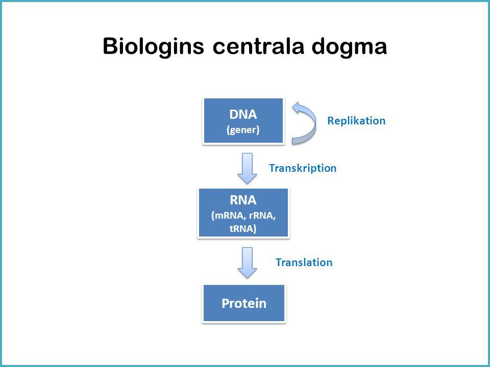 Biologins centrala dogma DNA (gener) DNA (gener) RNA (mRNA, rRNA, tRNA) RNA (mRNA, rRNA, tRNA) Protein Transkription Translation Replikation