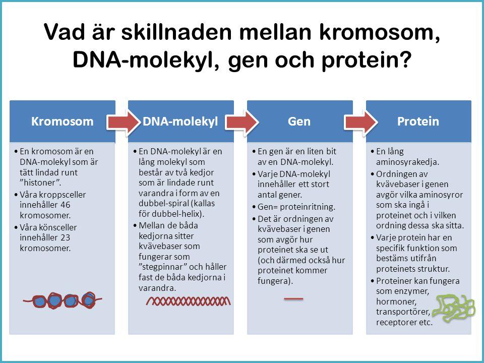 """Vad är skillnaden mellan kromosom, DNA-molekyl, gen och protein? Kromosom •En kromosom är en DNA-molekyl som är tätt lindad runt """"histoner"""". •Våra kro"""