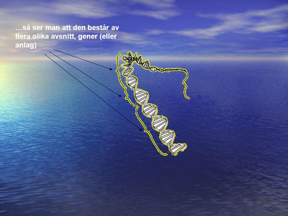…så ser man att den består av flera olika avsnitt, gener (eller anlag)