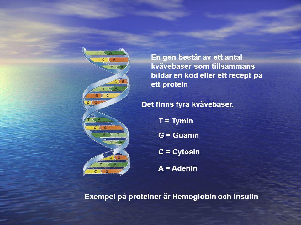 En gen består av ett antal kvävebaser som tillsammans bildar en kod eller ett recept på ett protein Exempel på proteiner är Hemoglobin och insulin Det