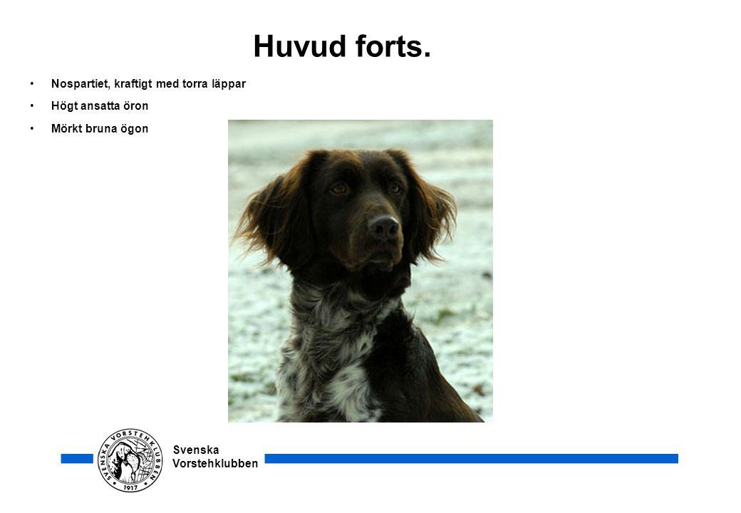 Svenska Vorstehklubben Huvud forts. •Nospartiet, kraftigt med torra läppar •Högt ansatta öron •Mörkt bruna ögon
