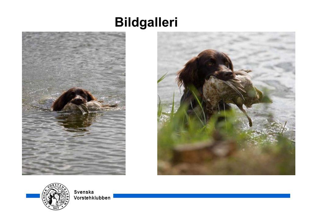 Svenska Vorstehklubben Bildgalleri