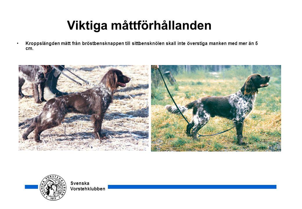 Svenska Vorstehklubben Viktiga måttförhållanden •Kroppslängden mätt från bröstbensknappen till sittbensknölen skall inte överstiga manken med mer än 5
