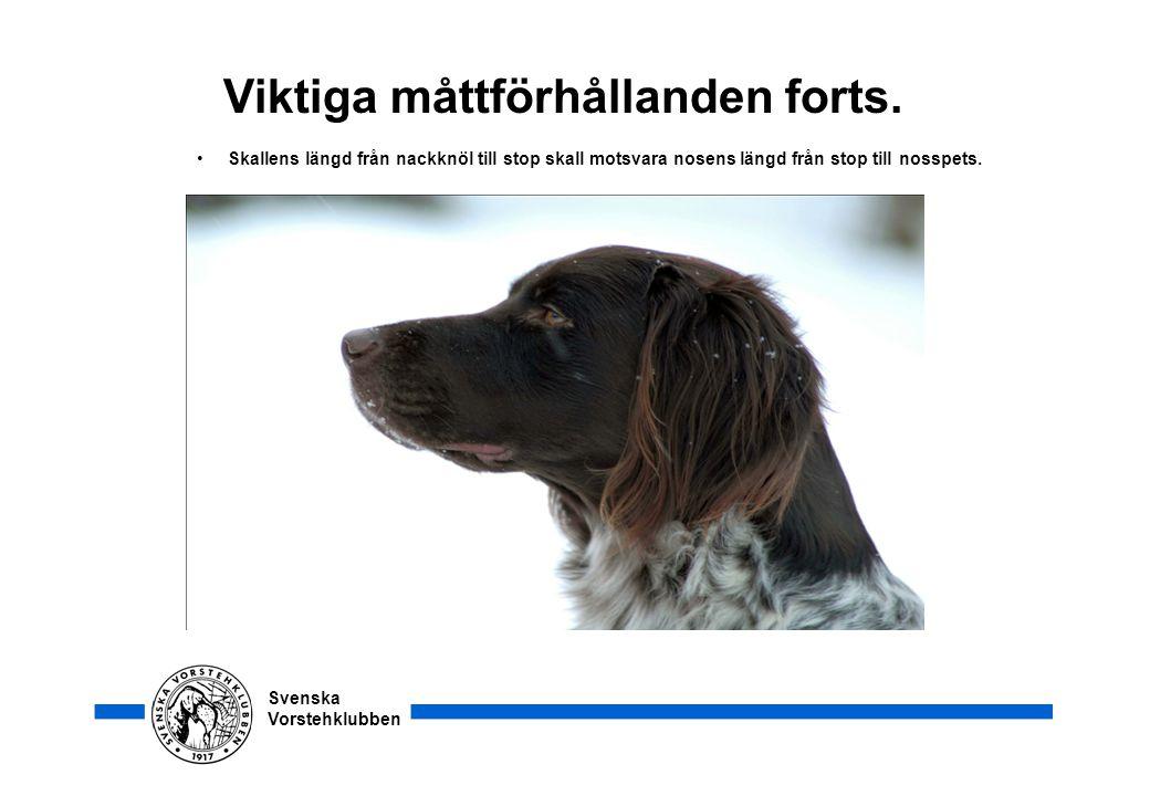 Svenska Vorstehklubben Viktiga måttförhållanden forts. • Skallens längd från nackknöl till stop skall motsvara nosens längd från stop till nosspets.