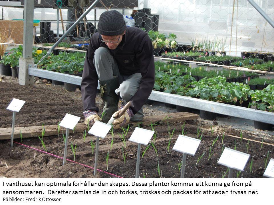 I växthuset kan optimala förhållanden skapas.