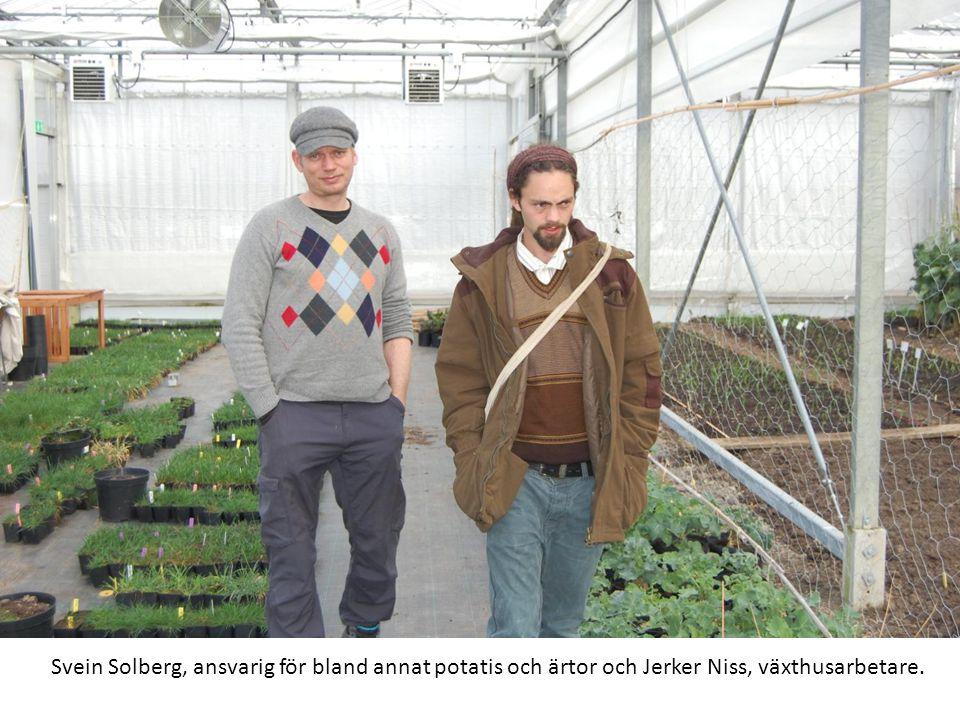 Svein Solberg, ansvarig för bland annat potatis och ärtor och Jerker Niss, växthusarbetare.