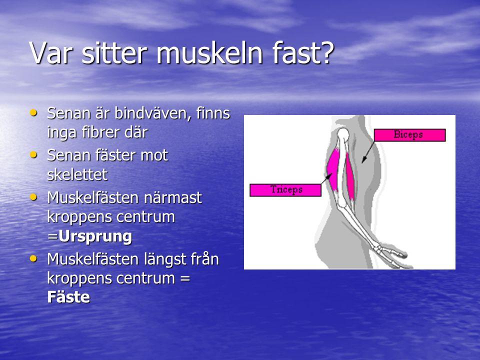 Var sitter muskeln fast? • Senan är bindväven, finns inga fibrer där • Senan fäster mot skelettet • Muskelfästen närmast kroppens centrum =Ursprung •