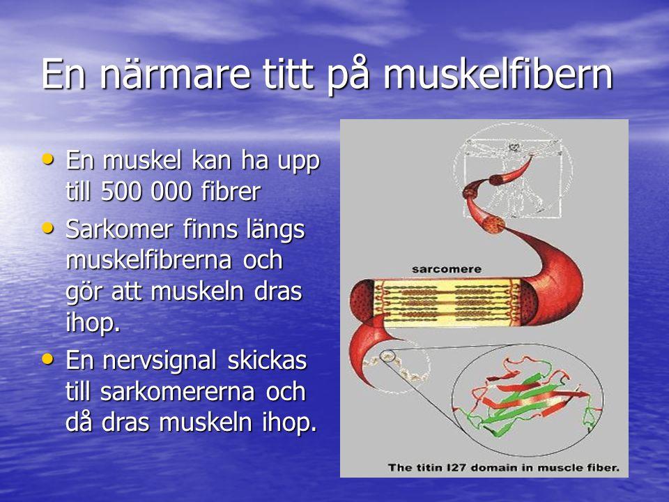 En närmare titt på muskelfibern • En muskel kan ha upp till 500 000 fibrer • Sarkomer finns längs muskelfibrerna och gör att muskeln dras ihop. • En n