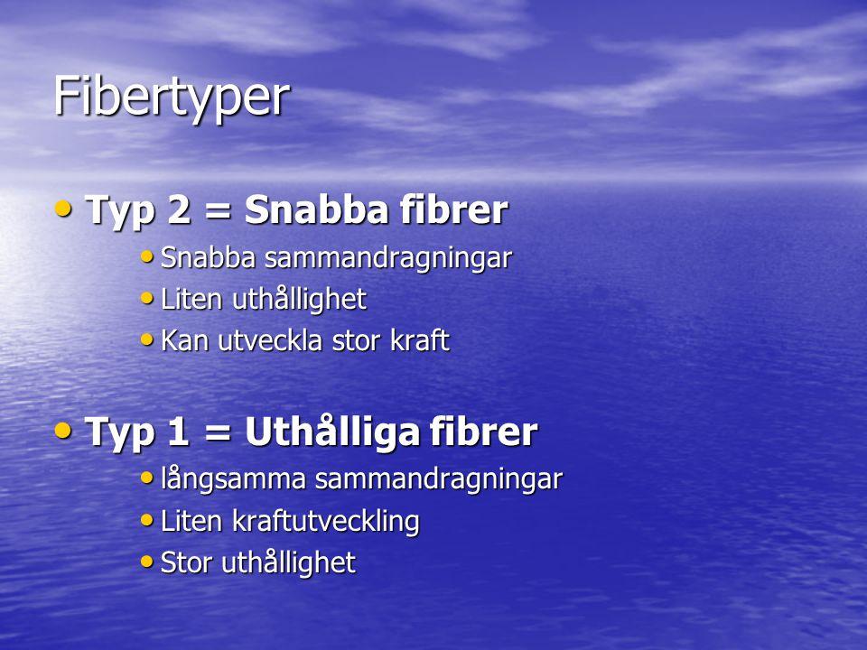 Fibertyper • Typ 2 = Snabba fibrer • Snabba sammandragningar • Liten uthållighet • Kan utveckla stor kraft • Typ 1 = Uthålliga fibrer • långsamma samm