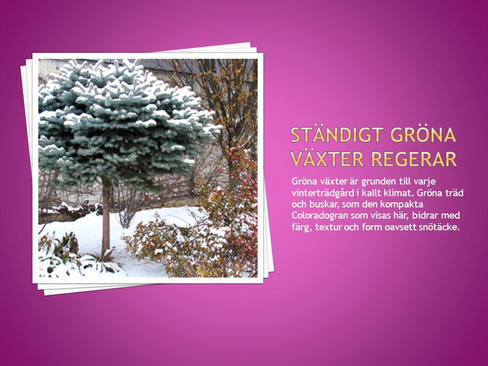 Gröna växter är grunden till varje vinterträdgård i kallt klimat. Gröna träd och buskar, som den kompakta Coloradogran som visas här, bidrar med färg,