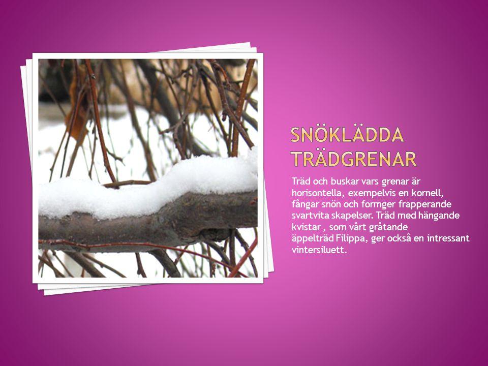 Träd och buskar vars grenar är horisontella, exempelvis en kornell, fångar snön och formger frapperande svartvita skapelser. Träd med hängande kvistar
