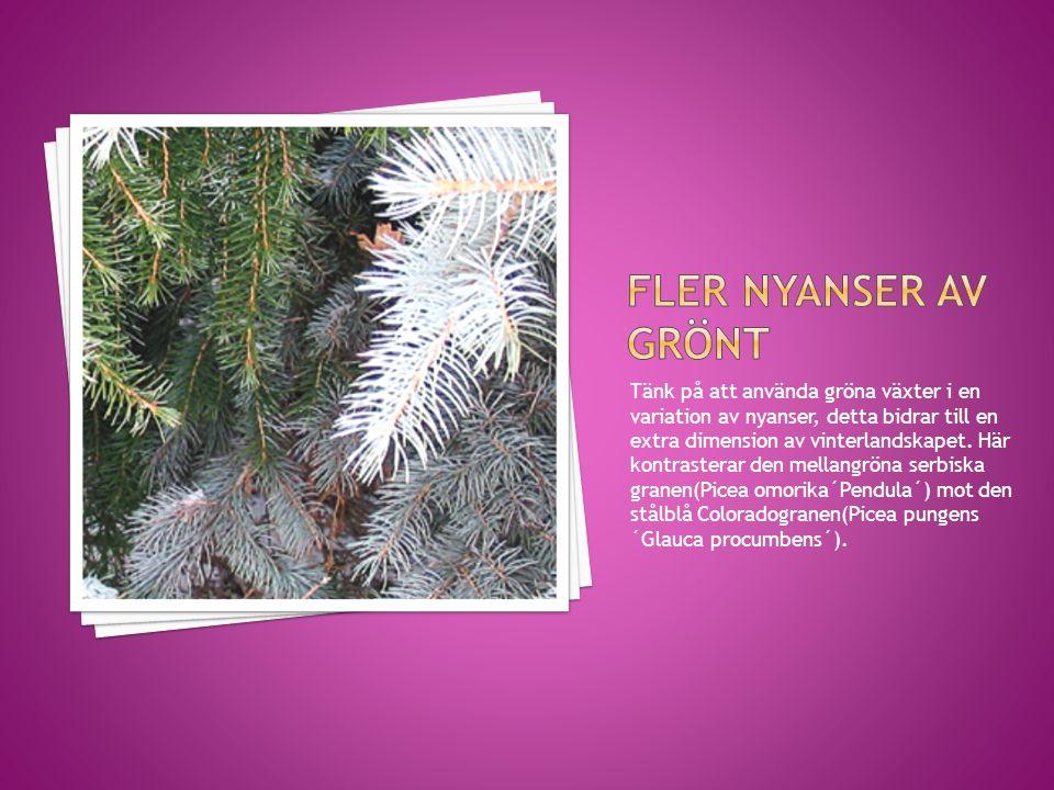 Tänk på att använda gröna växter i en variation av nyanser, detta bidrar till en extra dimension av vinterlandskapet. Här kontrasterar den mellangröna