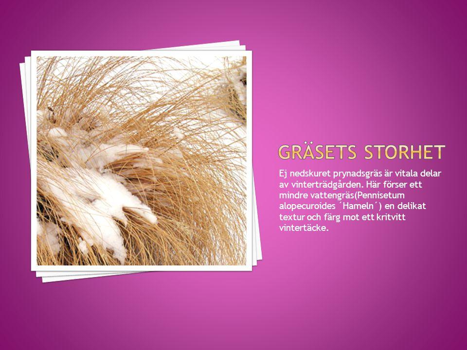 Ej nedskuret prynadsgräs är vitala delar av vinterträdgården. Här förser ett mindre vattengräs(Pennisetum alopecuroides ´Hameln´) en delikat textur oc