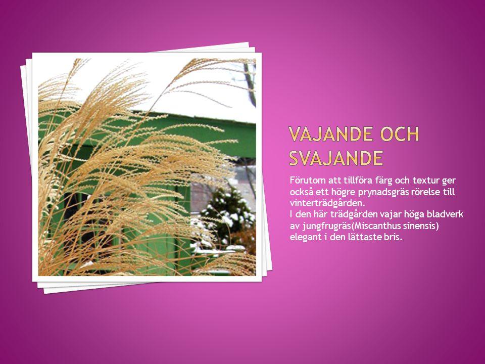Förutom att tillföra färg och textur ger också ett högre prynadsgräs rörelse till vinterträdgården. I den här trädgården vajar höga bladverk av jungfr