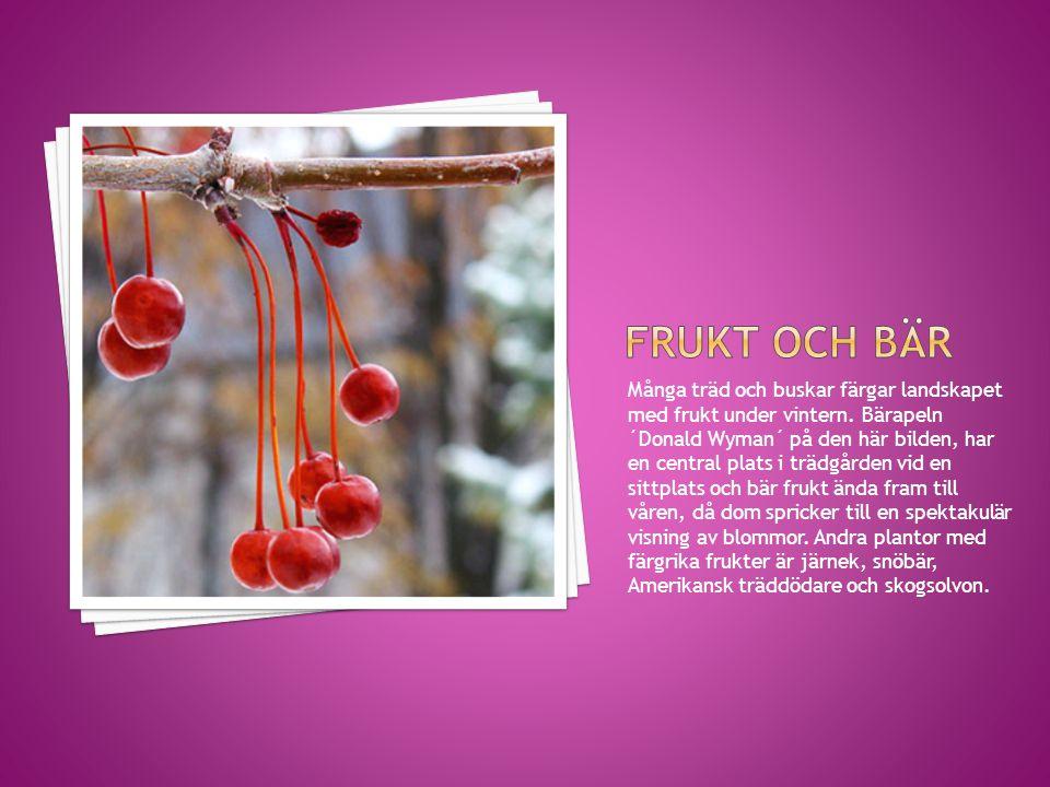 Många träd och buskar färgar landskapet med frukt under vintern. Bärapeln ´Donald Wyman´ på den här bilden, har en central plats i trädgården vid en s