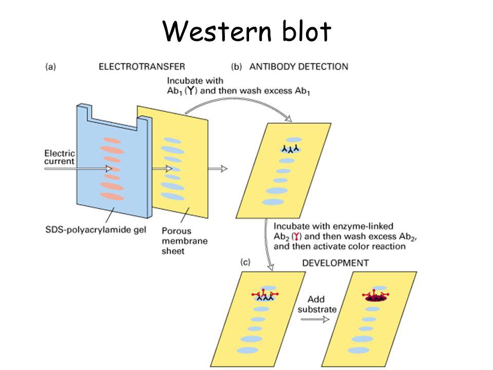 Western blot