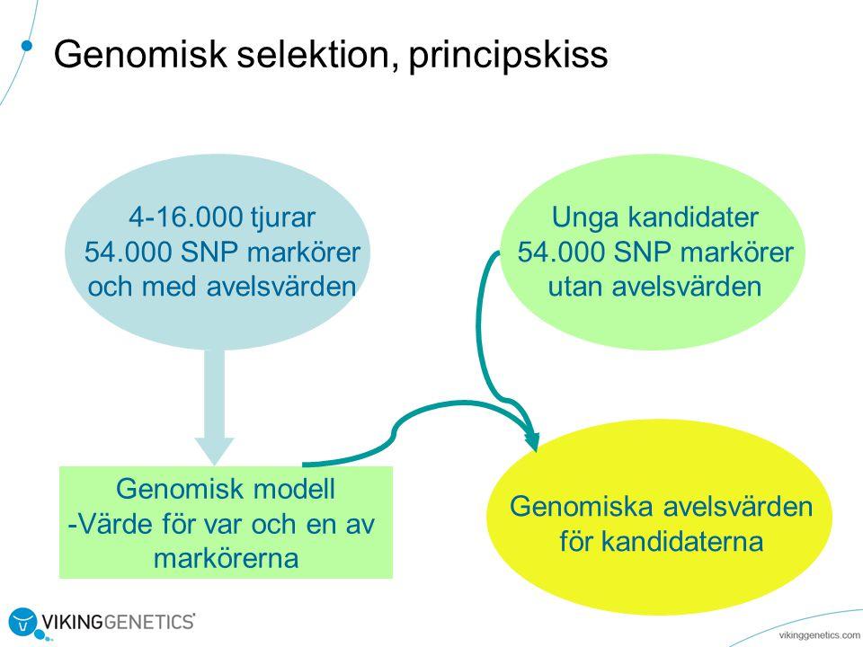 Genomisk selektion, principskiss 4-16.000 tjurar 54.000 SNP markörer och med avelsvärden Unga kandidater 54.000 SNP markörer utan avelsvärden Genomisk modell -Värde för var och en av markörerna Genomiska avelsvärden för kandidaterna