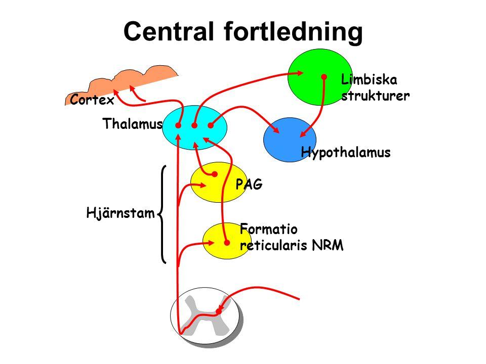 Nedåtgående bansystem Cortex Hypothalamus PAG NRM Neurotransmittorer: Serotonin Noradrenalin Endorfiner Hjärnstam