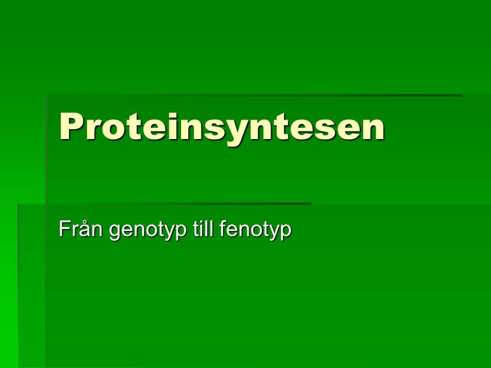 Proteinsyntesen Från genotyp till fenotyp