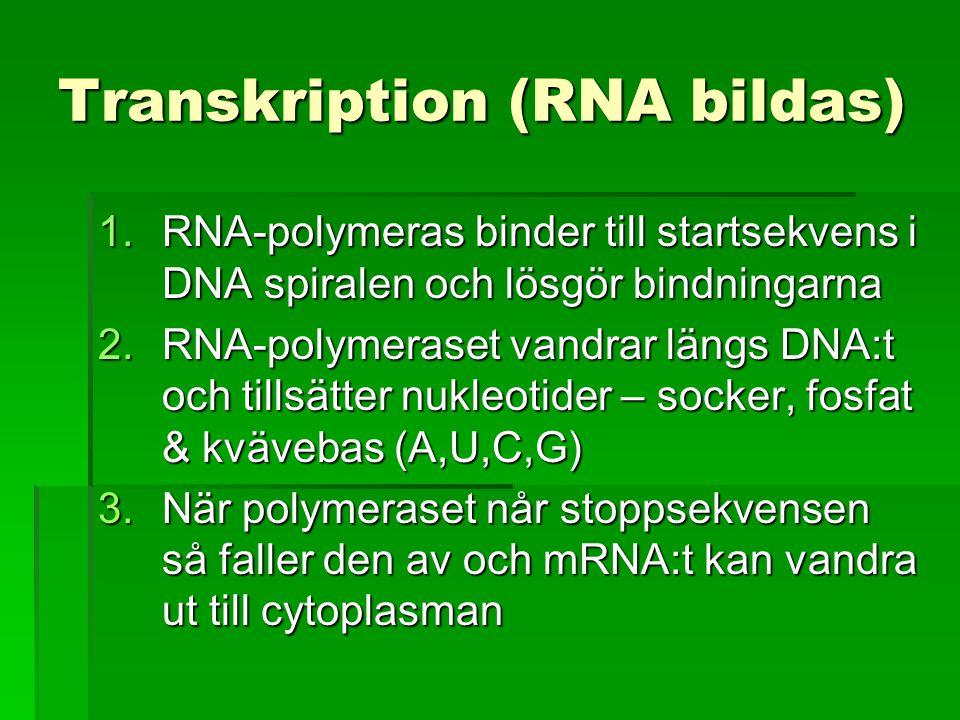 Transkription (RNA bildas) 1.RNA-polymeras binder till startsekvens i DNA spiralen och lösgör bindningarna 2.RNA-polymeraset vandrar längs DNA:t och t