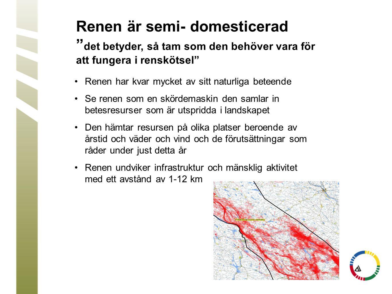 """Renen är semi- domesticerad """" det betyder, så tam som den behöver vara för att fungera i renskötsel"""" •Renen har kvar mycket av sitt naturliga beteende"""