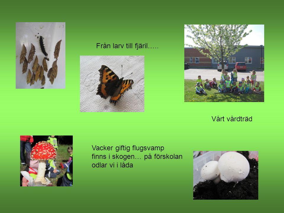Från larv till fjäril….. Vacker giftig flugsvamp finns i skogen… på förskolan odlar vi i låda Vårt vårdträd