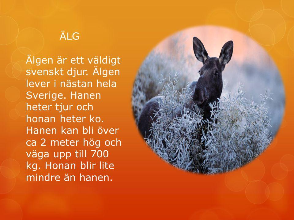 ÄLG Älgen är ett väldigt svenskt djur. Älgen lever i nästan hela Sverige. Hanen heter tjur och honan heter ko. Hanen kan bli över ca 2 meter hög och v