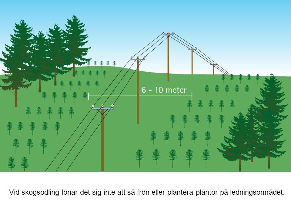 Vid skogsodling lönar det sig inte att så frön eller plantera plantor på ledningsområdet.