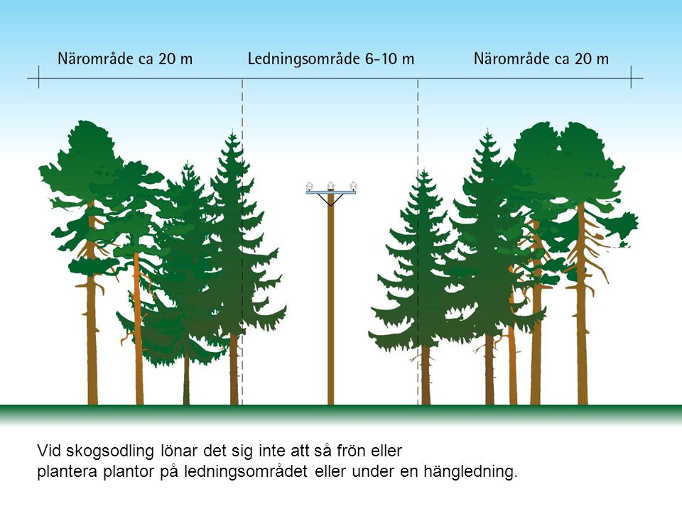 Vid skogsodling lönar det sig inte att så frön eller plantera plantor på ledningsområdet eller under en hängledning.