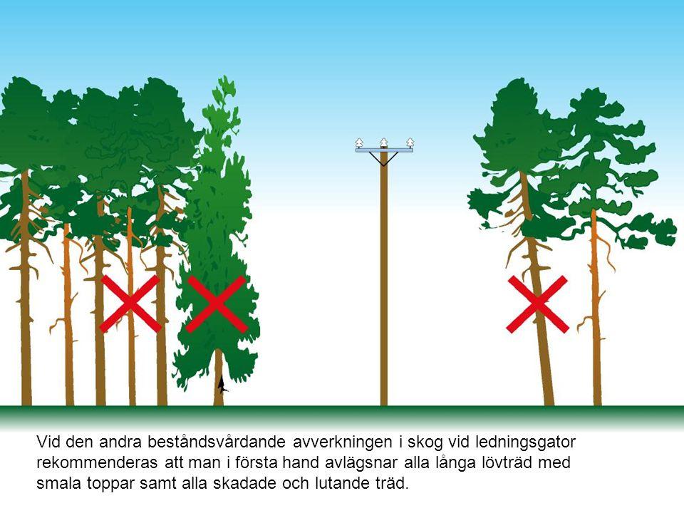 Vid den andra beståndsvårdande avverkningen i skog vid ledningsgator rekommenderas att man i första hand avlägsnar alla långa lövträd med smala toppar