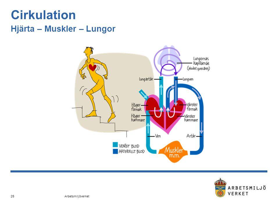 Arbetsmiljöverket 25 Cirkulation Hjärta – Muskler – Lungor