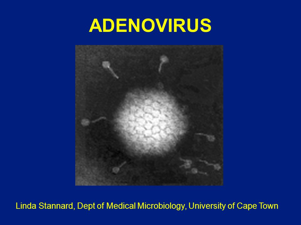 ADENOVIRUS VID FETMA 1.Humana adenovirus Ad-36, Ad-37, och Ad-5 orsakar fetma hos djur 2.