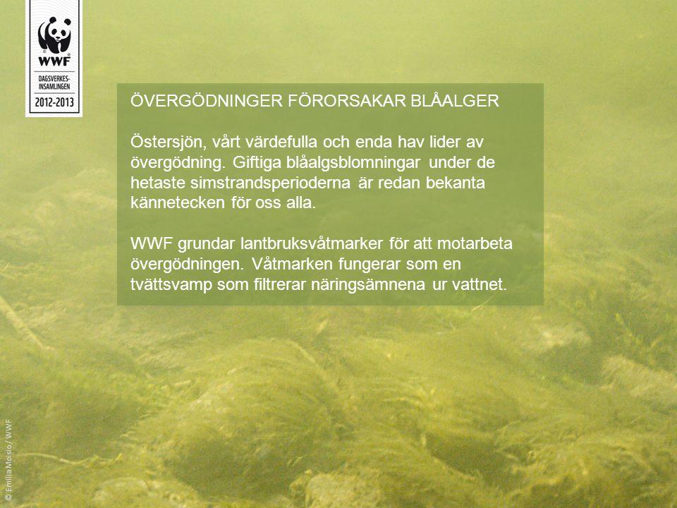 ÖVERGÖDNINGER FÖRORSAKAR BLÅALGER Östersjön, vårt värdefulla och enda hav lider av övergödning. Giftiga blåalgsblomningar under de hetaste simstrandsp