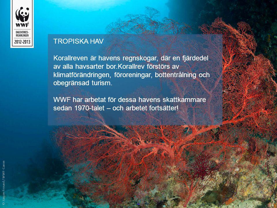 TROPISKA HAV Korallreven är havens regnskogar, där en fjärdedel av alla havsarter bor.Korallrev förstörs av klimatförändringen, föroreningar, bottentr