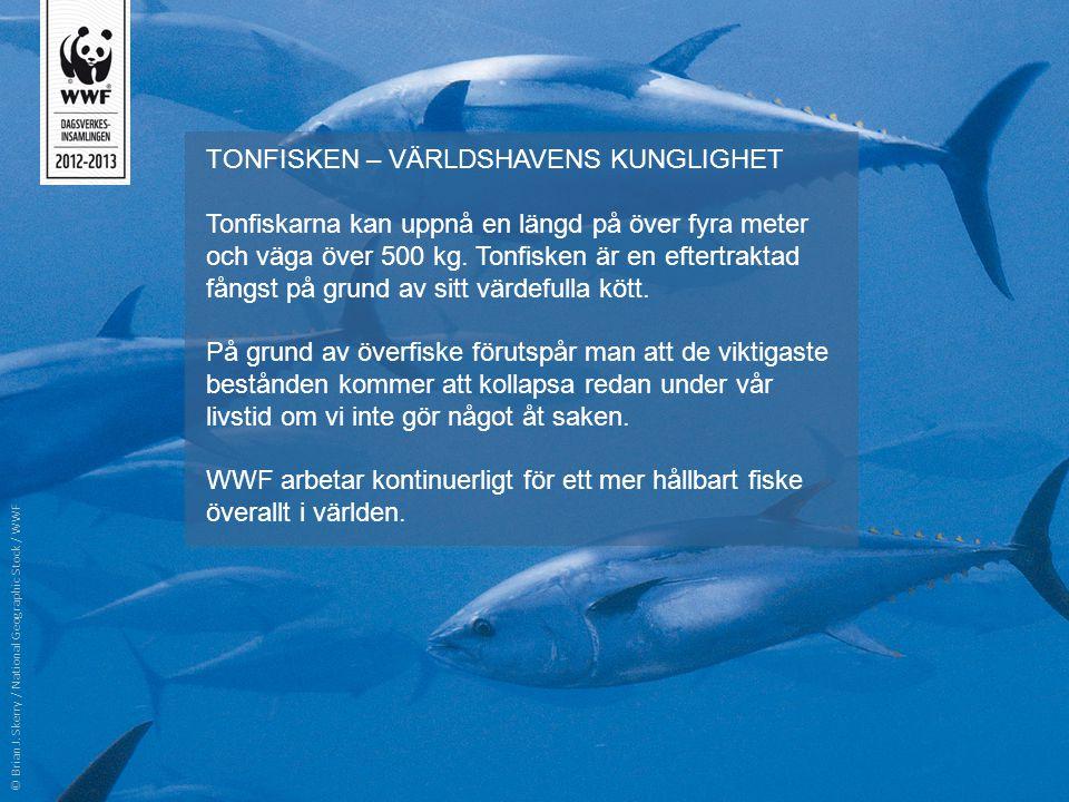 TONFISKEN – VÄRLDSHAVENS KUNGLIGHET Tonfiskarna kan uppnå en längd på över fyra meter och väga över 500 kg. Tonfisken är en eftertraktad fångst på gru