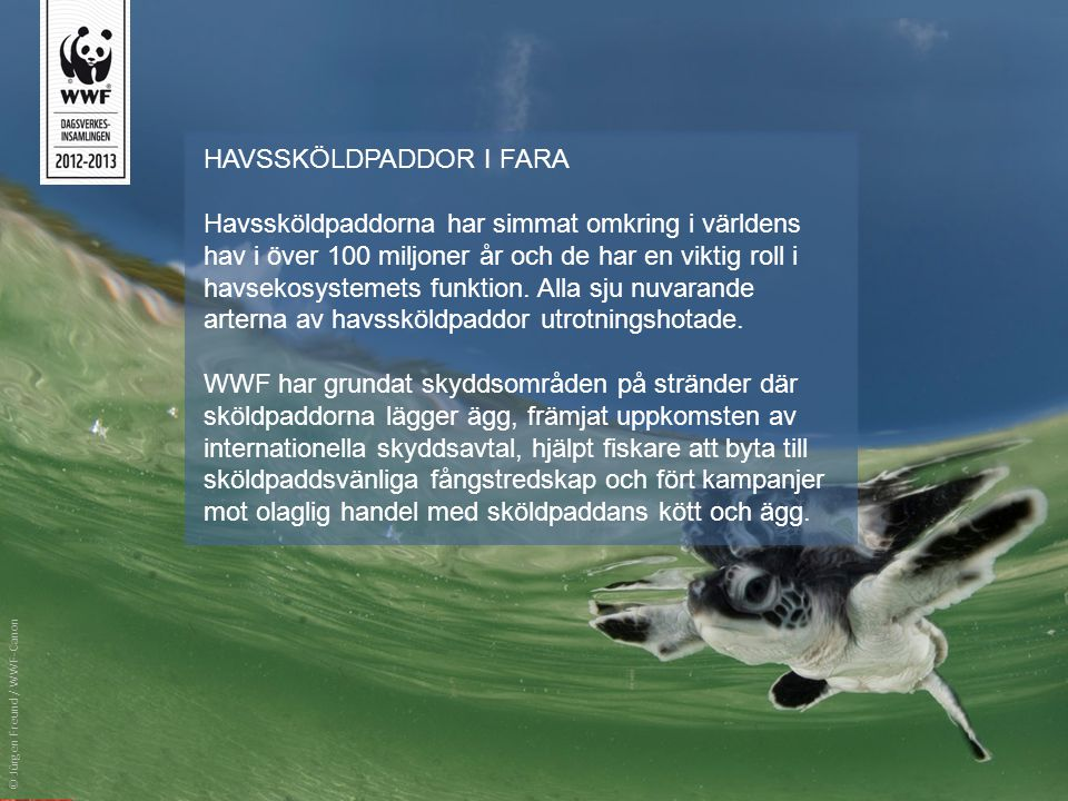 HAVSSKÖLDPADDOR I FARA Havssköldpaddorna har simmat omkring i världens hav i över 100 miljoner år och de har en viktig roll i havsekosystemets funktio