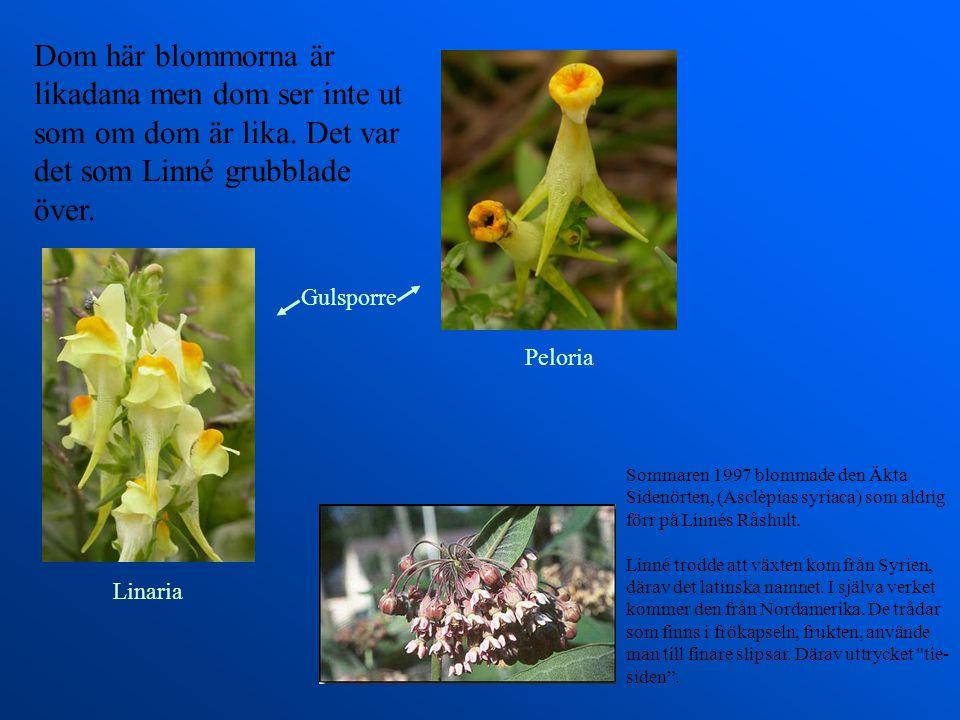 Linné var botaniker. Han visste vilka blommor som höll ihop genom att räkna ståndare och pistiller. Han gav många blommor namn. Hans favoritblomma var