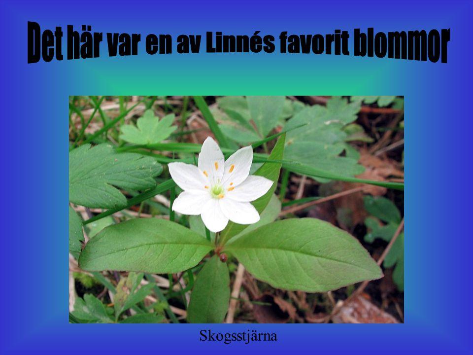 Dom här blommorna är likadana men dom ser inte ut som om dom är lika. Det var det som Linné grubblade över. Sommaren 1997 blommade den Äkta Sidenörten