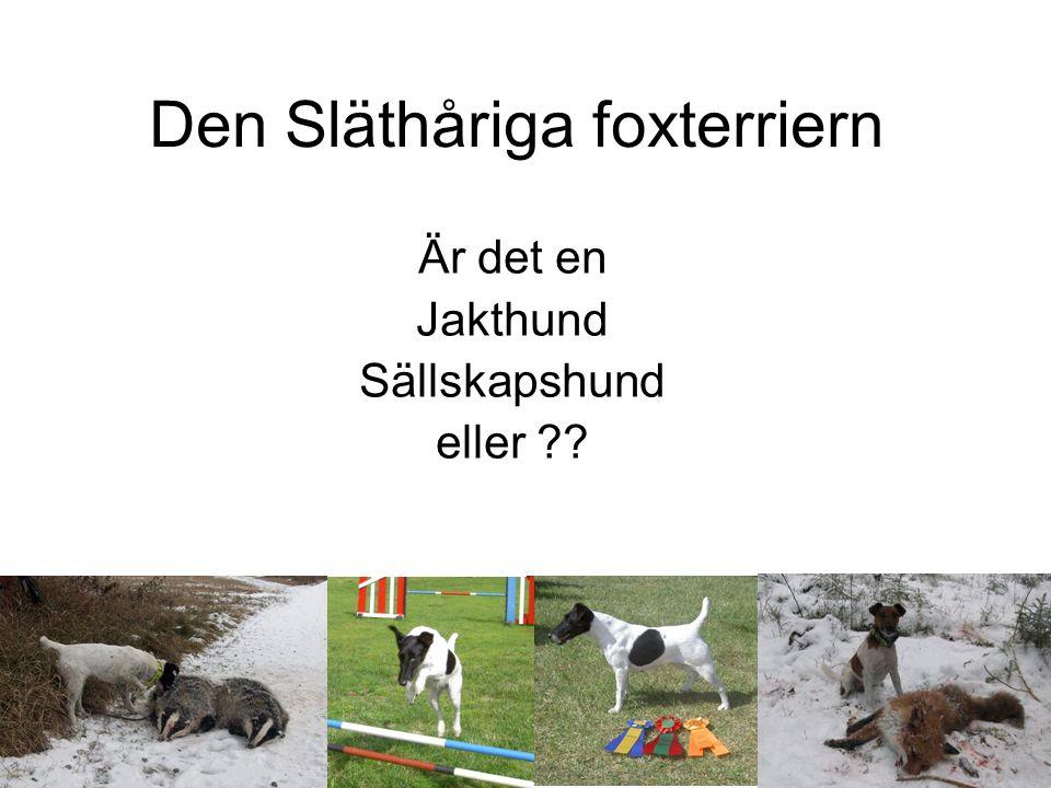 Den Släthåriga foxterriern Är det en Jakthund Sällskapshund eller ??
