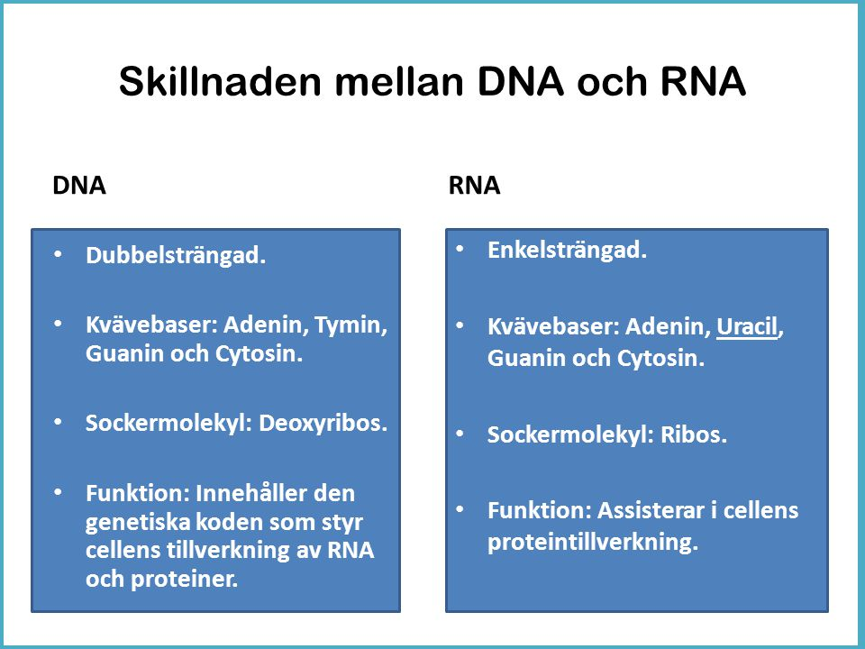 Skillnaden mellan DNA och RNA DNA • Dubbelsträngad. • Kvävebaser: Adenin, Tymin, Guanin och Cytosin. • Sockermolekyl: Deoxyribos. • Funktion: Innehåll