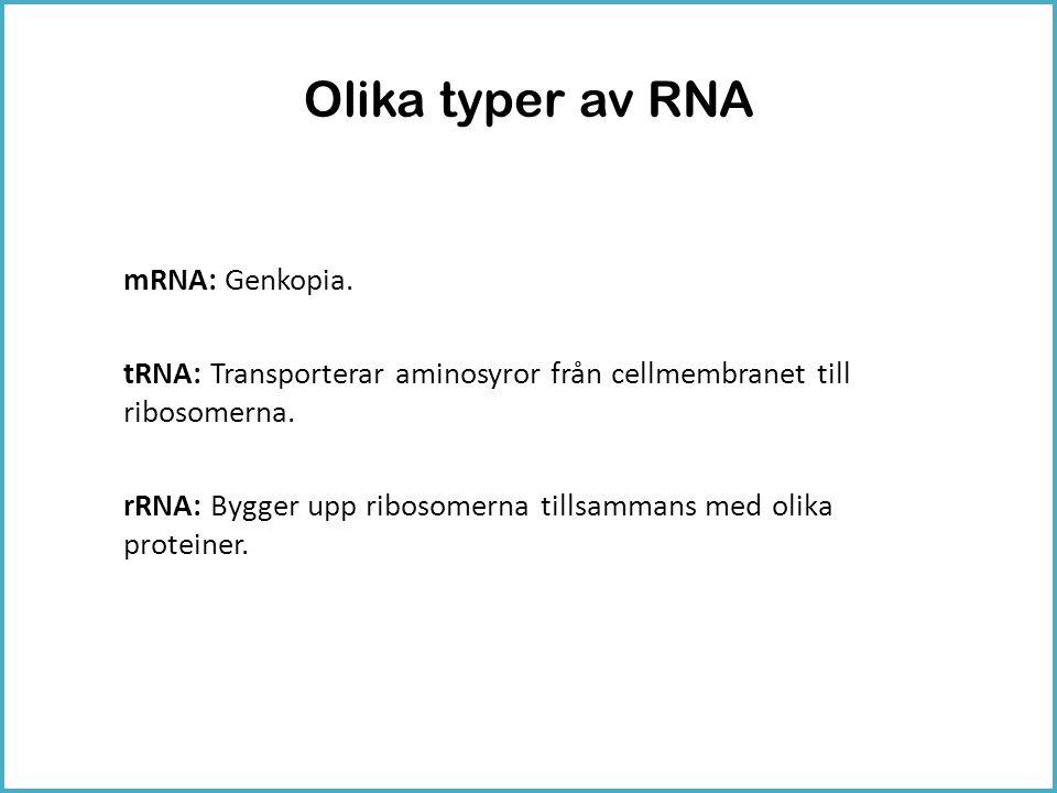 Olika typer av RNA mRNA: Genkopia. tRNA: Transporterar aminosyror från cellmembranet till ribosomerna. rRNA: Bygger upp ribosomerna tillsammans med ol