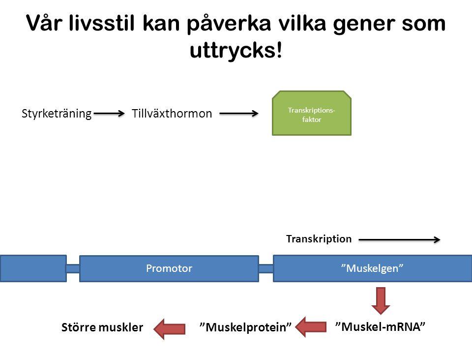 """Vår livsstil kan påverka vilka gener som uttrycks! """"Muskelgen"""" Promotor Transkription RNA- polymeras TillväxthormonStyrketräning """"Muskelprotein""""Större"""