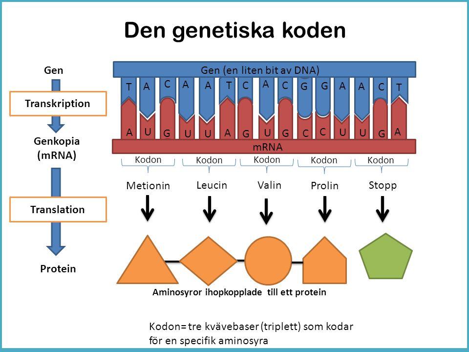Den genetiska koden A A C C Gen Genkopia (mRNA) Protein Kodon= tre kvävebaser (triplett) som kodar för en specifik aminosyra U U G G T A A CT Transkri