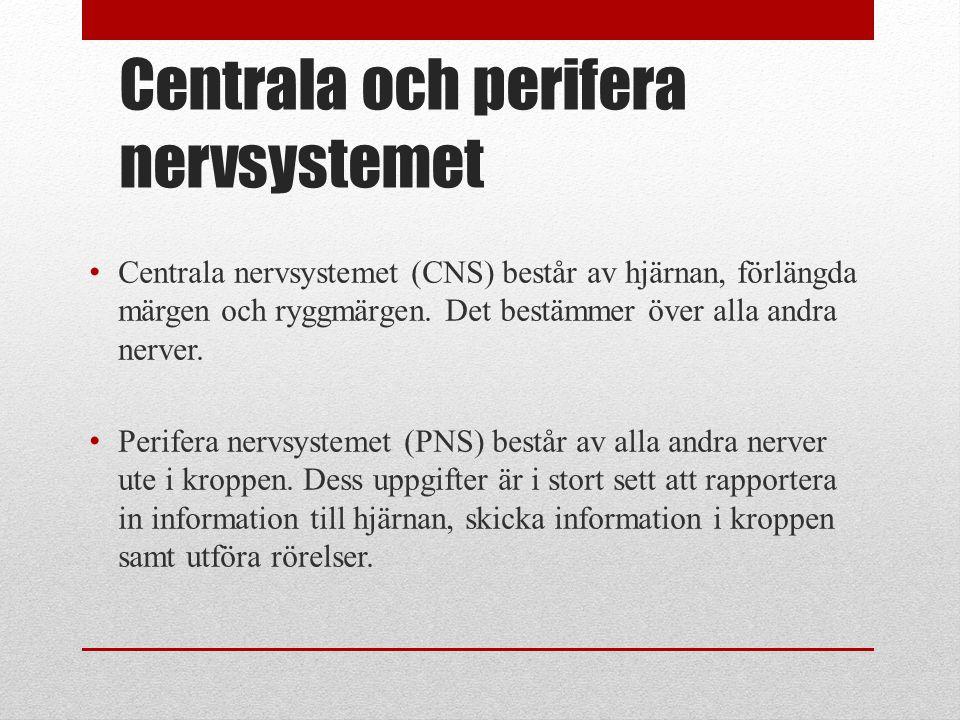 Centrala och perifera nervsystemet • Centrala nervsystemet (CNS) består av hjärnan, förlängda märgen och ryggmärgen. Det bestämmer över alla andra ner