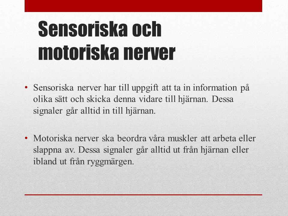 Sensoriska och motoriska nerver • Sensoriska nerver har till uppgift att ta in information på olika sätt och skicka denna vidare till hjärnan. Dessa s